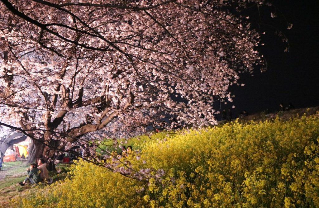晚上點燈後的熊谷櫻堤的夜櫻也是一絕,千萬不要錯過。