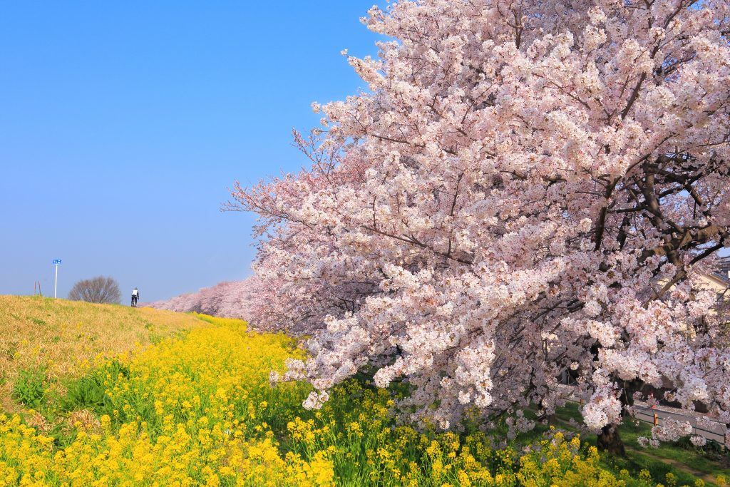 櫻色跟油菜花的鮮黃配搭非常搶眼