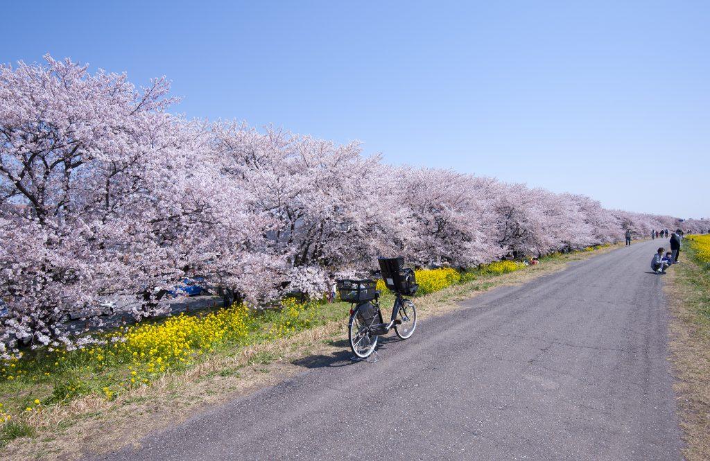 櫻堤全長2KM,共種植了500棵櫻花樹。